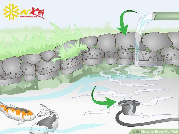Hệ thống sục khí kích thích cá Koi đẻ dễ dàng hơn