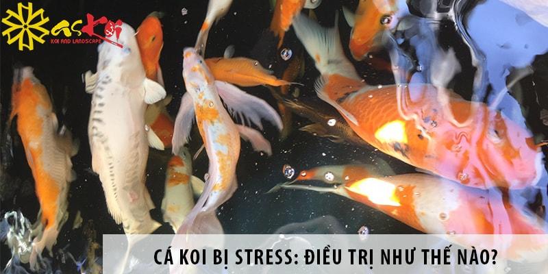 Cá Koi Bị Stress: Điều Trị Như Thế Nào Cho Hiệu Quả?