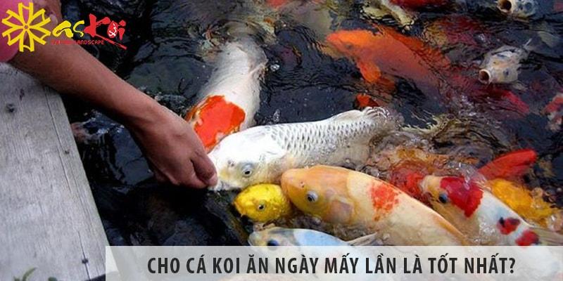 Cho Cá Koi ăn Ngày Mấy Lần Là Tốt Nhất?