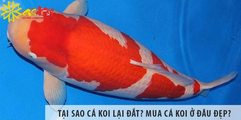 Tại Sao Cá Koi Lại đắt? Mua Cá Koi ở đâu đẹp Và Tốt Nhất?