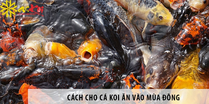 Cách Cho Cá Koi ăn Vào Mùa đông Giúp Cá Luôn Khoẻ Mạnh