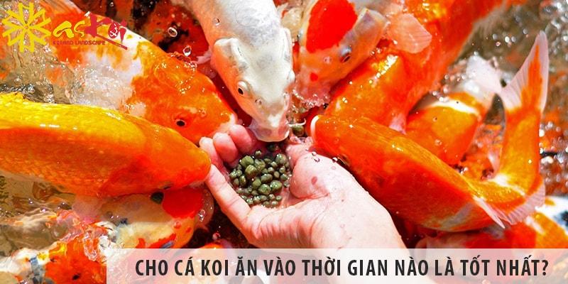 Cho Cá Koi ăn Vào Thời Gian Nào Trong Ngày Là Tốt Nhất?
