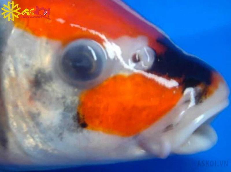 Mắt cá koi bị đục như có lớp màng mỏng bên trên