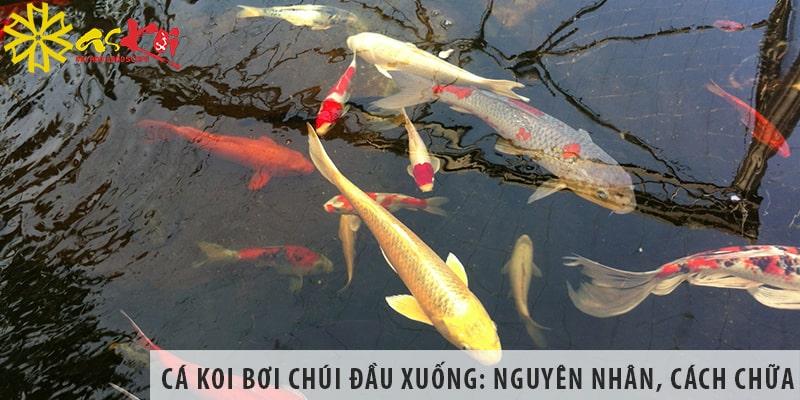 Cá Koi Bơi Chúi đầu Xuống: Nguyên Nhân Và Cách điều Trị